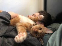 A different ginger cat lays on a woman with its belly in the air.