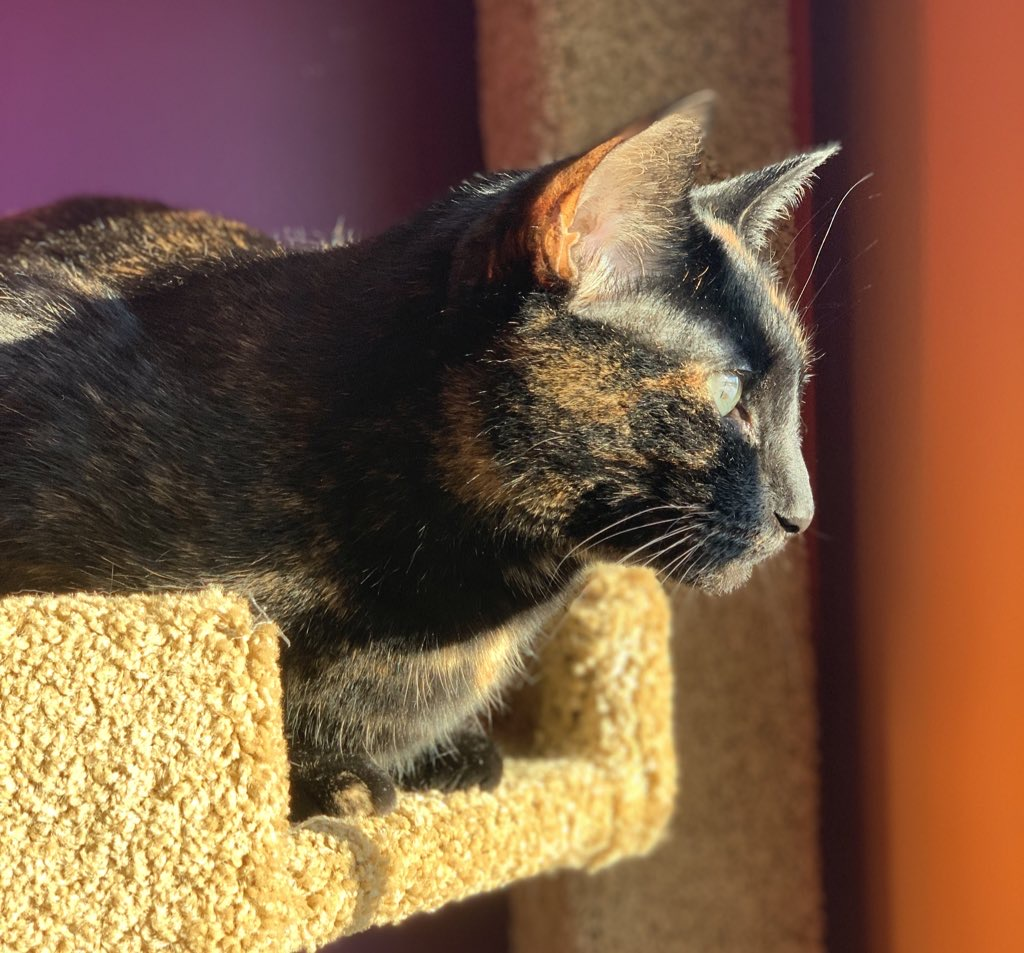 A cat sits on her cat tree. Sun shines on her face.